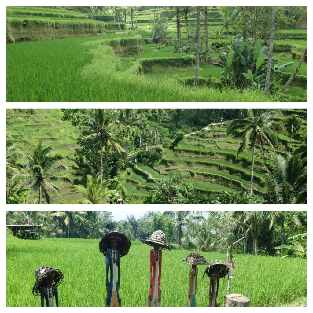 superbes plantations de riz en terrasse