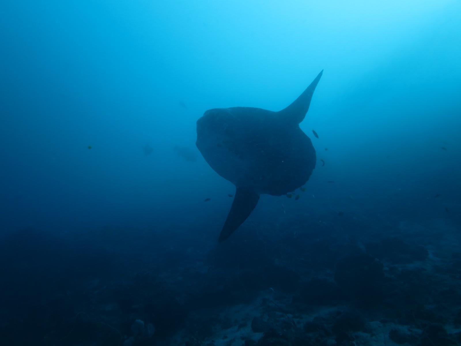 mola mola en plongée à komodo