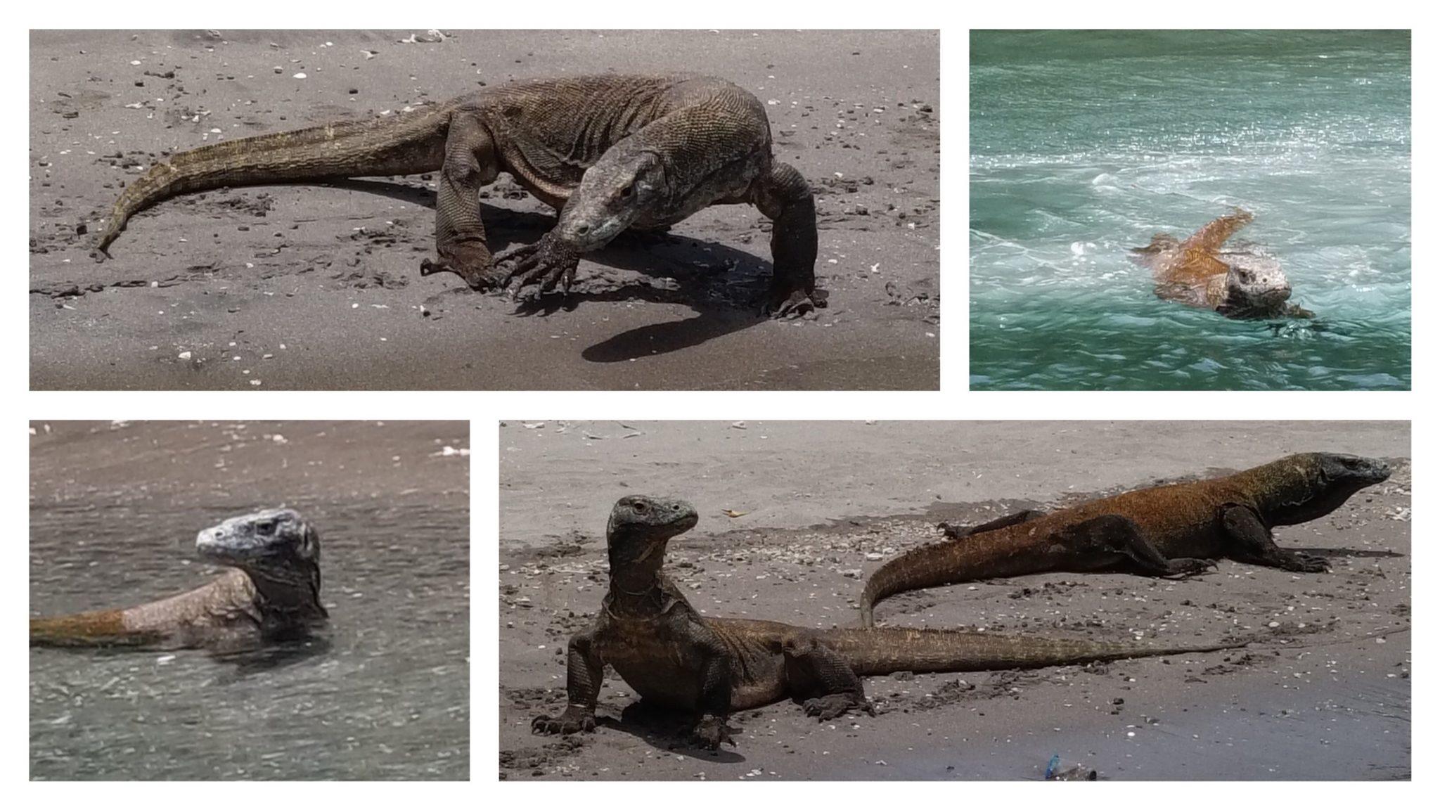 les dragons de komodo vus après la plongée